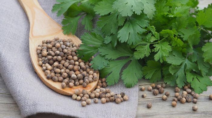 Koriander wird als Gewürz- und Heilpflanze verwendet. © Shutterstock, Elen Vik